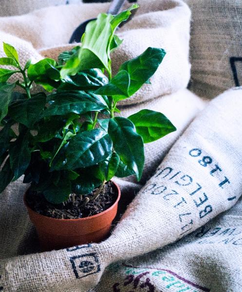 Koffieplant online kopen