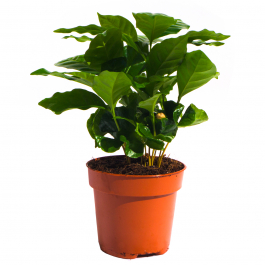 Koffieplant Coffea Arabica